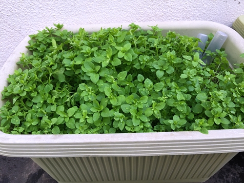 160603_3_planter_hakobe.jpg