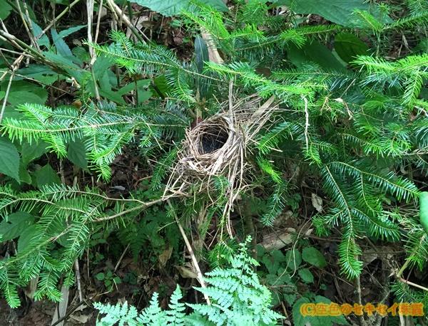 道民の森の鳥の巣  空色のセキセイ珠霞