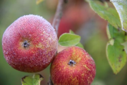 ブラジル産リンゴ