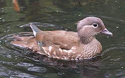 250px-Female_Mandarin_Duck_800.jpg