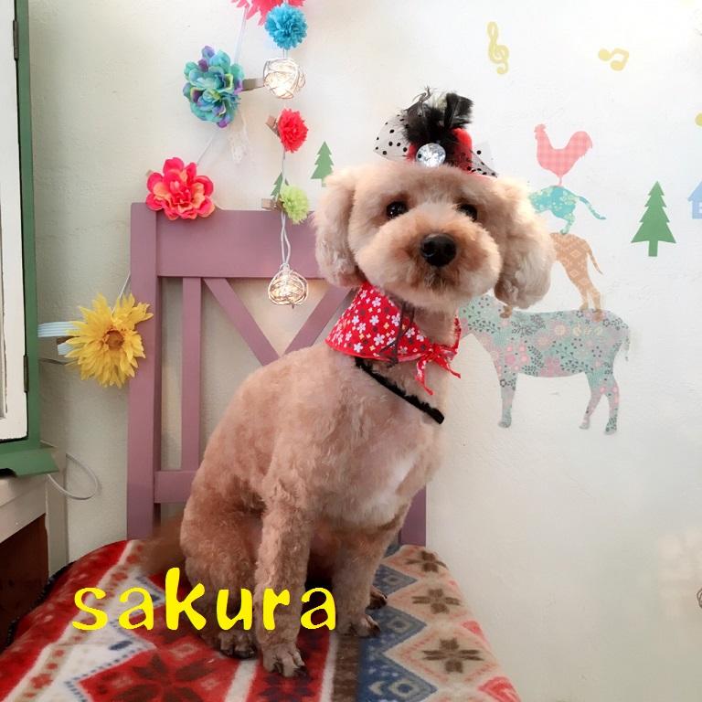 sakura 水田
