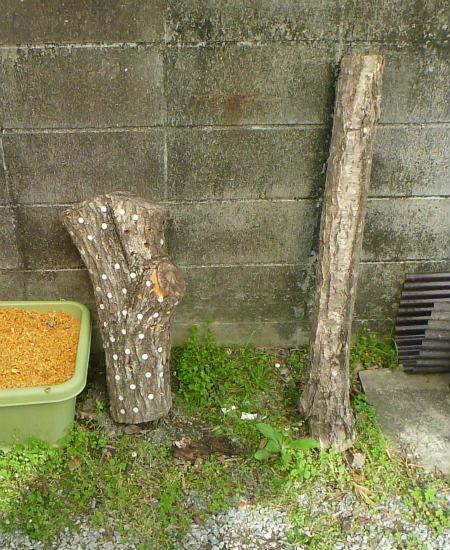 2016.05.10原木栽培7