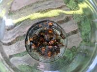 捕獲したスズメバチの焼酎漬け