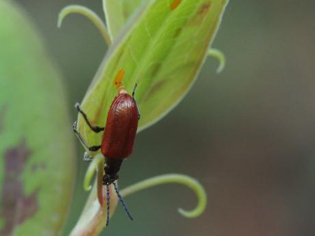 ホソクビナガハムシ産卵