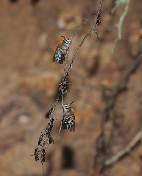 スジボソコシブトハナバチ&黒いハチ2