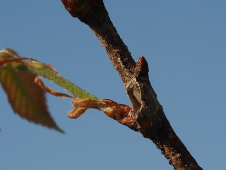 リンゴコブガ幼虫越冬巣