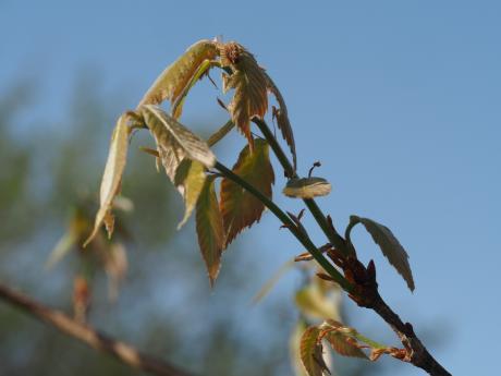 リンゴコブガ幼虫越冬巣&幼虫