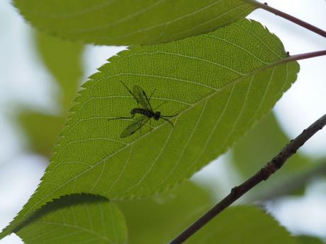 サクラセグロハバチ