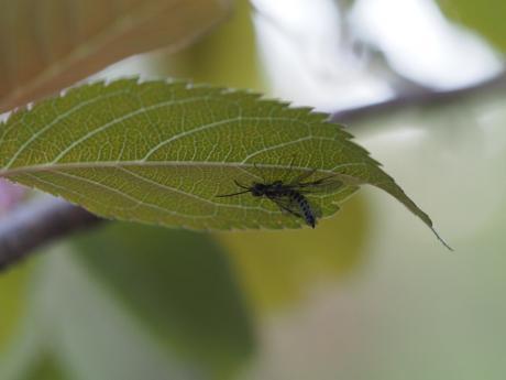 サクラセグロハバチ2