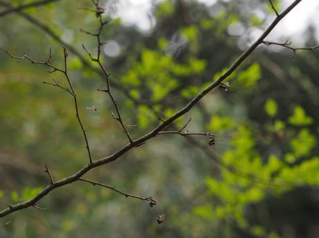 オドリバエの一種・交尾2
