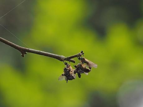 オドリバエの一種・交尾3