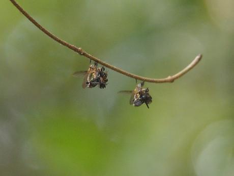 オドリバエの一種交尾