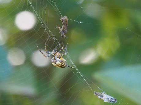 クモ&コミミズク成虫3