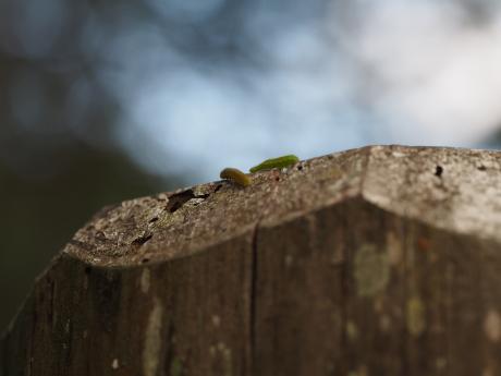テングチョウ幼虫たち
