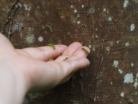 テングチョウ幼虫たち3