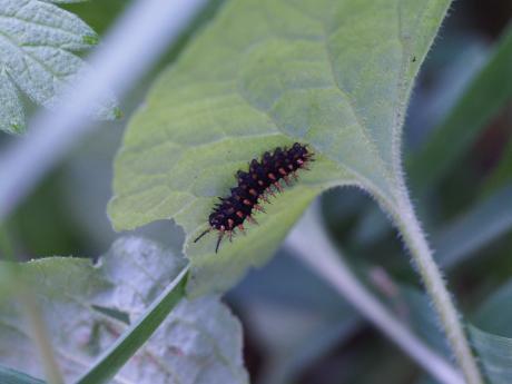 メスグロヒョウモン幼虫