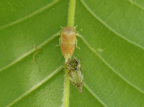 ツノゼミ幼虫脱皮2