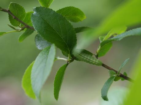 ミドリシジミ幼虫5