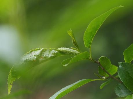 ミドリシジミ幼虫7