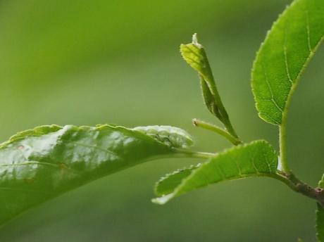 ミドリシジミ幼虫8