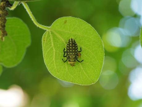 ハラグロオオテントウ幼虫
