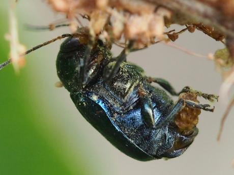 バラルリツツハムシ産卵2