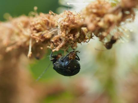 バラルリツツハムシ産卵3