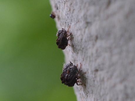 ハネナガウンカの一種の幼虫