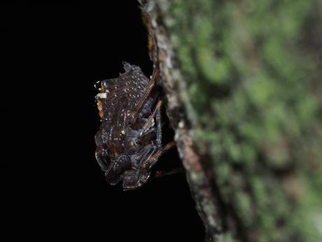 ハネナガウンカ幼虫2