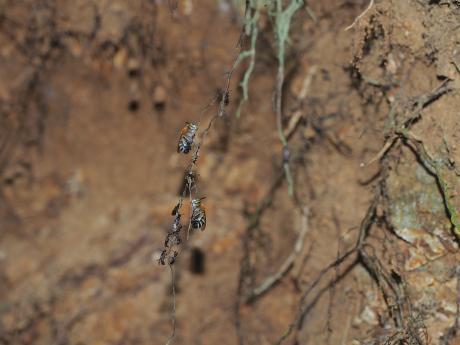 スジボソコシブトハナバチ&黒いハチ6
