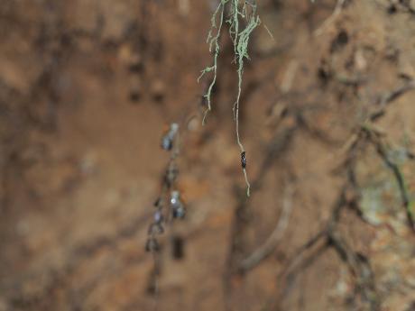 スジボソコシブトハナバチ&黒いハチ7