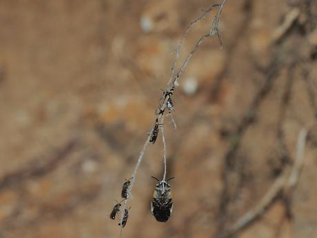 スジボソコシブトハナバチ&黒いハチ