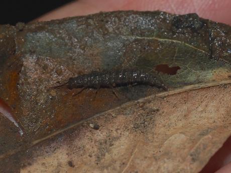 ウンモンヒロバカゲロウ幼虫か