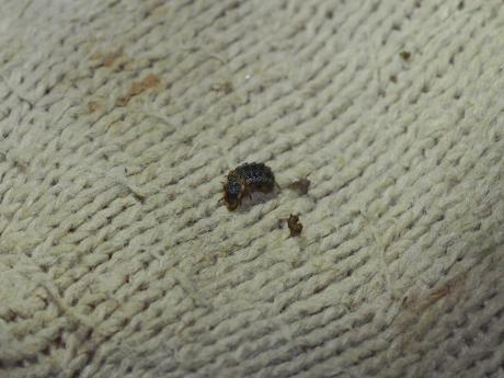 ホタル幼虫