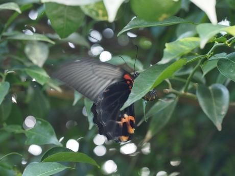 ナガサキアゲハ産卵