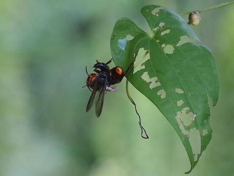 スズメバチ&黒いハチ