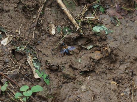 オオハキリバチ♀採土