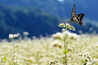 そばの花に蝶