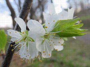 031白い桜
