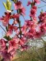 013桃の花