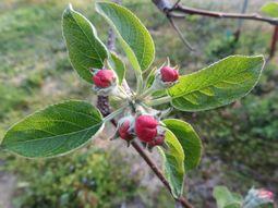 017りんごの花
