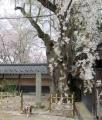 013枝垂れ桜