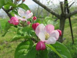 007りんごの花