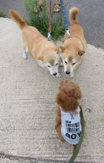 柴犬兄弟2