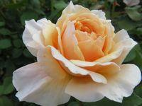 IMG_3943薔薇