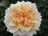 IMG_3944薔薇