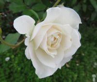 IMG_3945薔薇