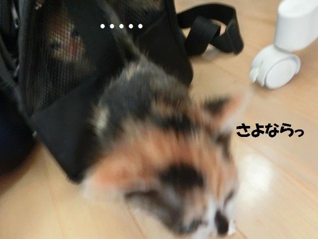 子猫・お嫁入り 20160520 004