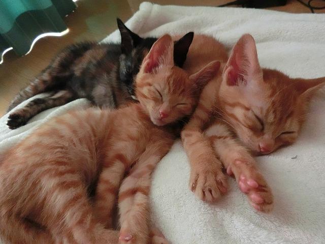 キャバリアと子猫たち 024
