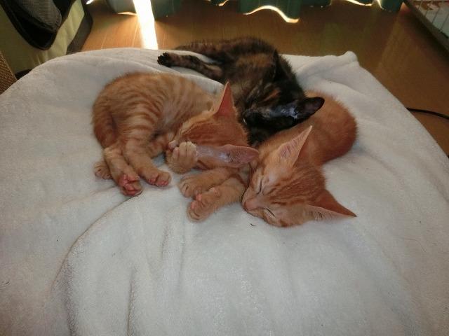 キャバリアと子猫たち 023
